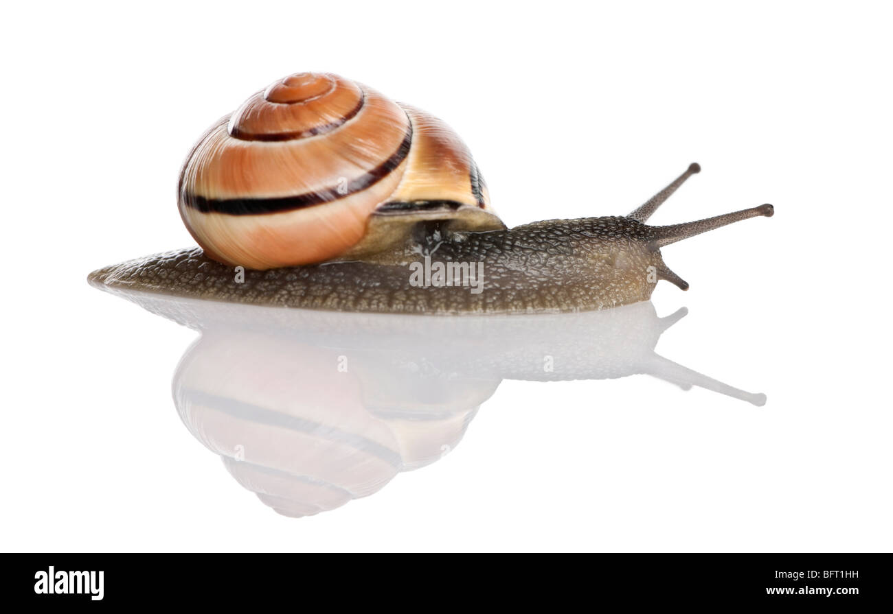 Garden snail in front of a white background, studio shot - Stock Image