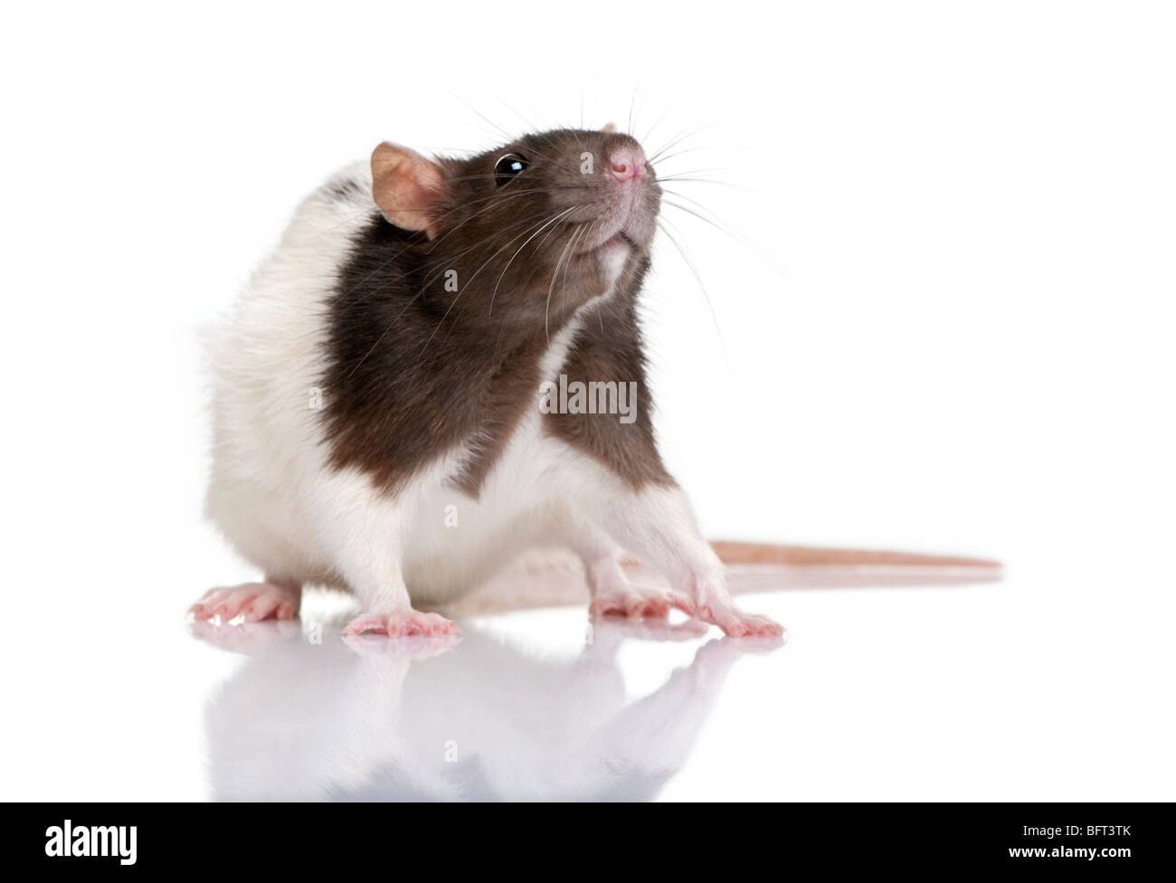 Rat, 1 year old, standing in front of a white background, studio shot - Stock Image