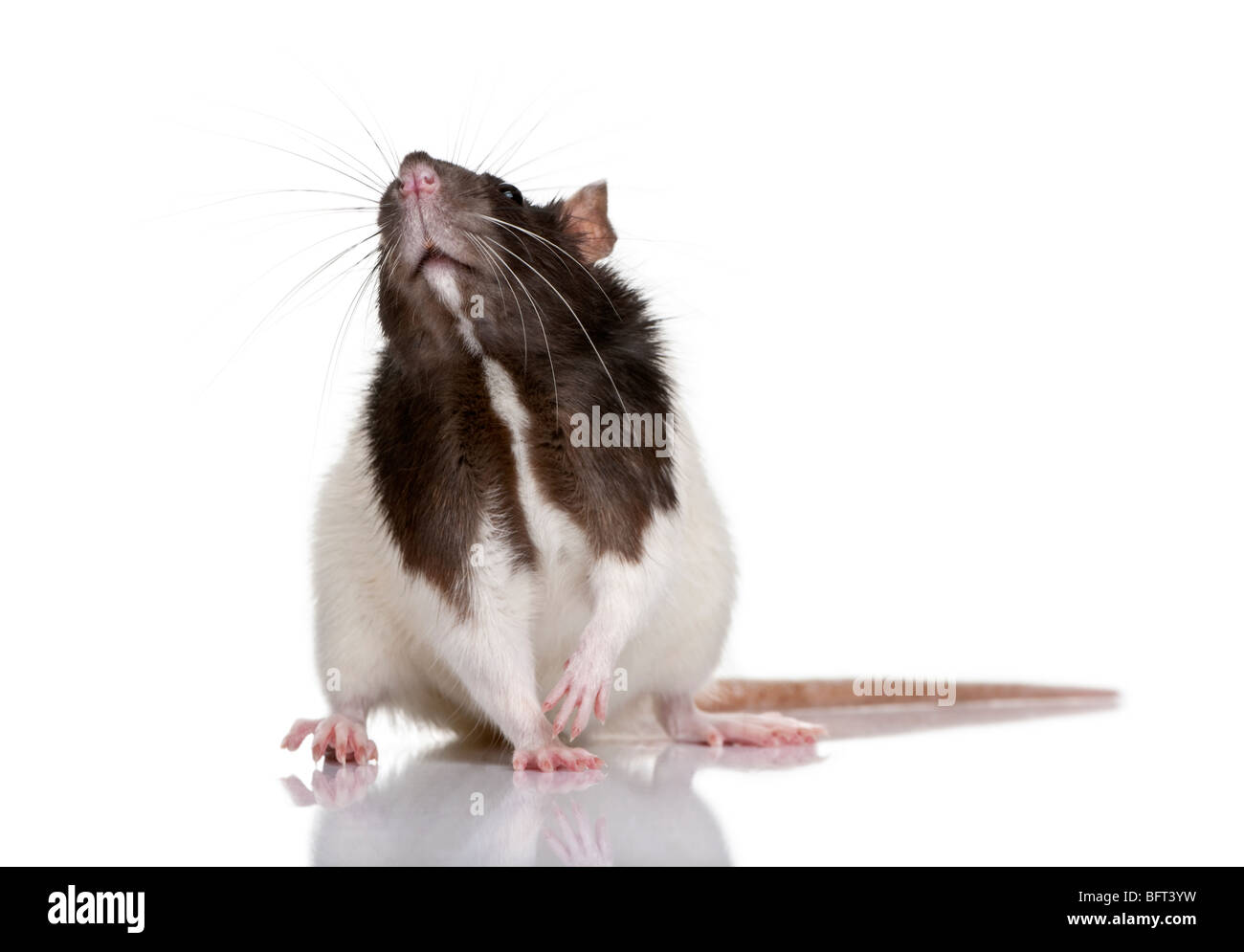 Rat,1 year old, standing in front of a white background, studio shot - Stock Image