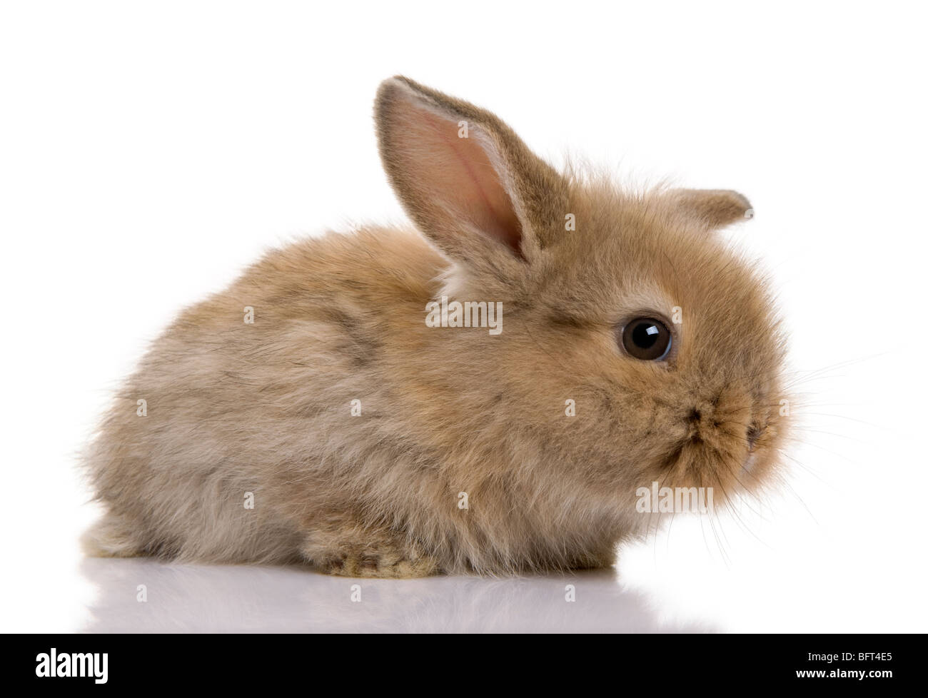 Brown baby rabbit in front of a white background, studio shot - Stock Image