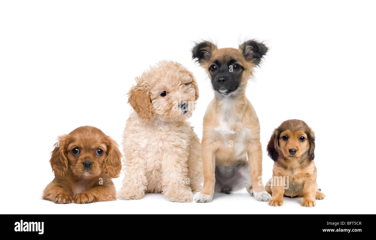 Group of puppy dogs in front of white background, studio shot - Stock Image
