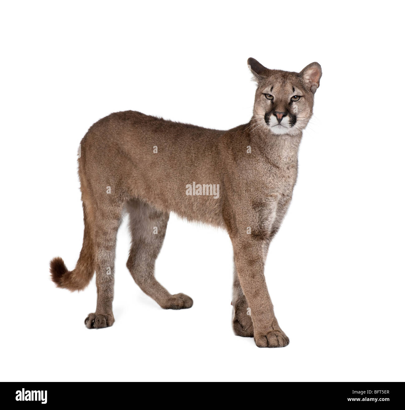 Portrait of Puma cub, Puma concolor, 1 year old, standing in front of white background - Stock Image