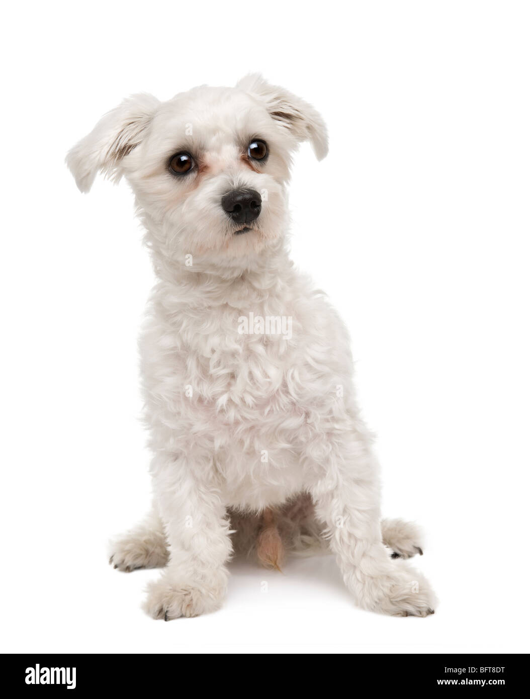 Maltese dog, 1 year old, sitting in front of a white background, studio shot - Stock Image