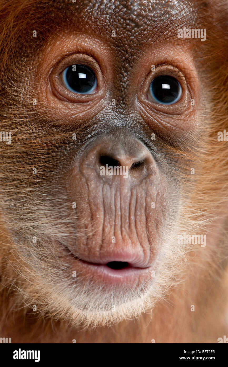 Close-up of baby Sumatran Orangutan, 4 months old - Stock Image
