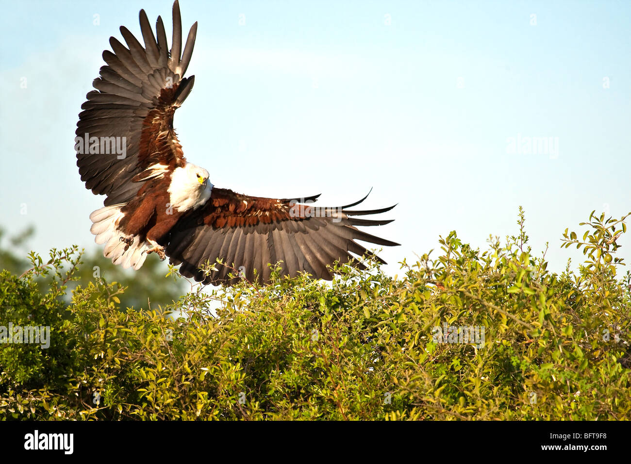 Fish Eagle with wings spread and talons showing coming into land on the top of a bush - Stock Image