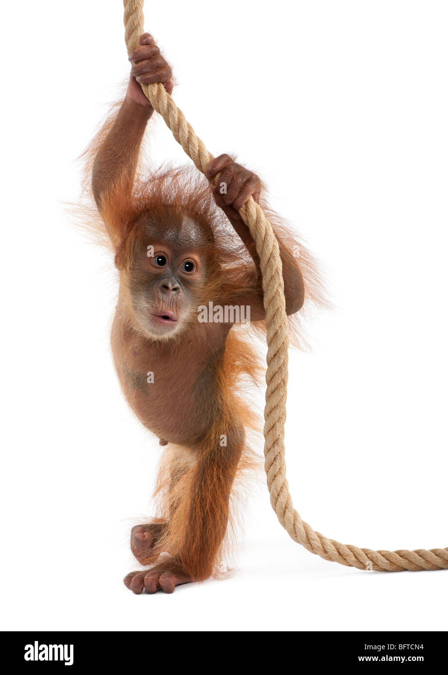 Baby Sumatran Orangutan hanging on rope, 4 months old, in front of white background - Stock Image