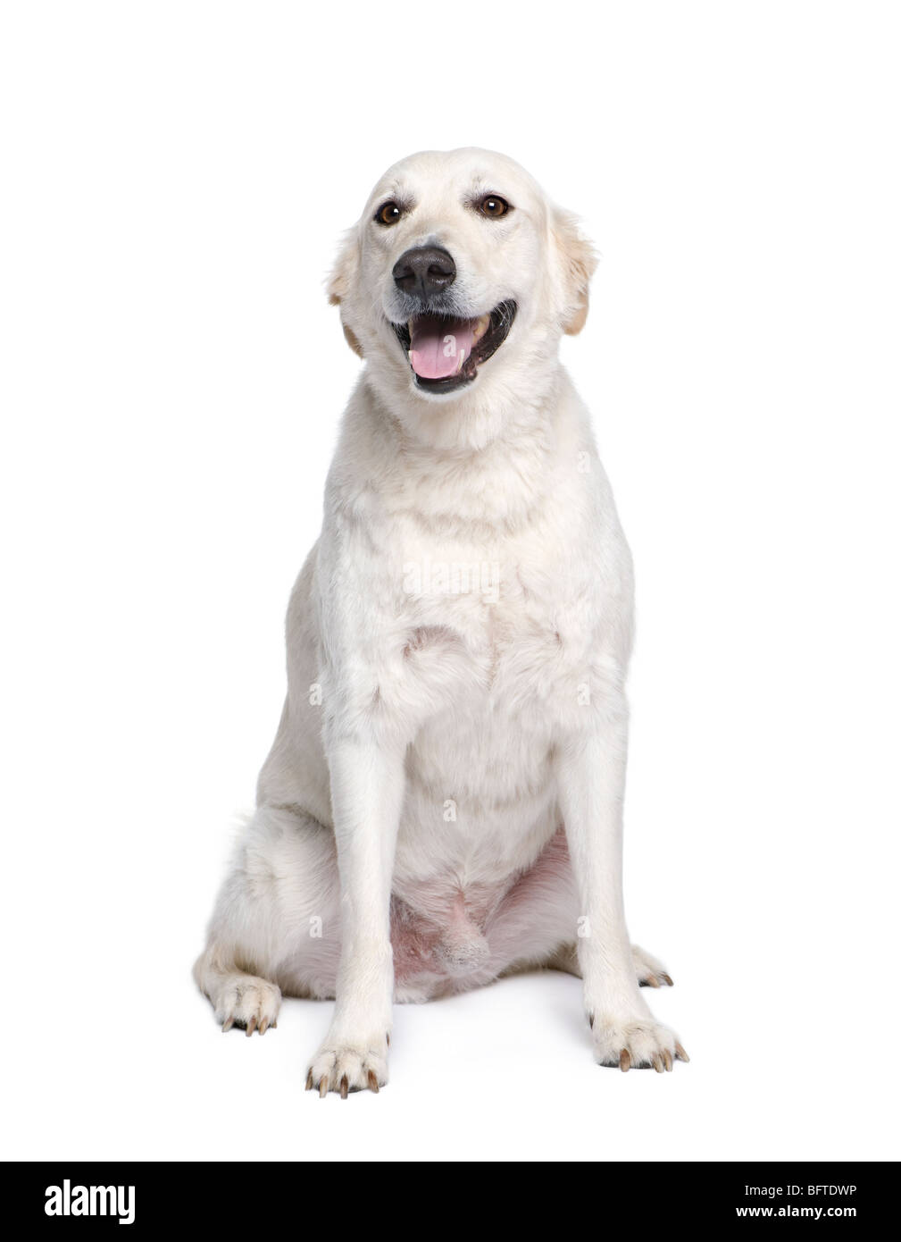 Mixed breed dog between Golden Retriever and Husky, 6 years old, in front of white background - Stock Image