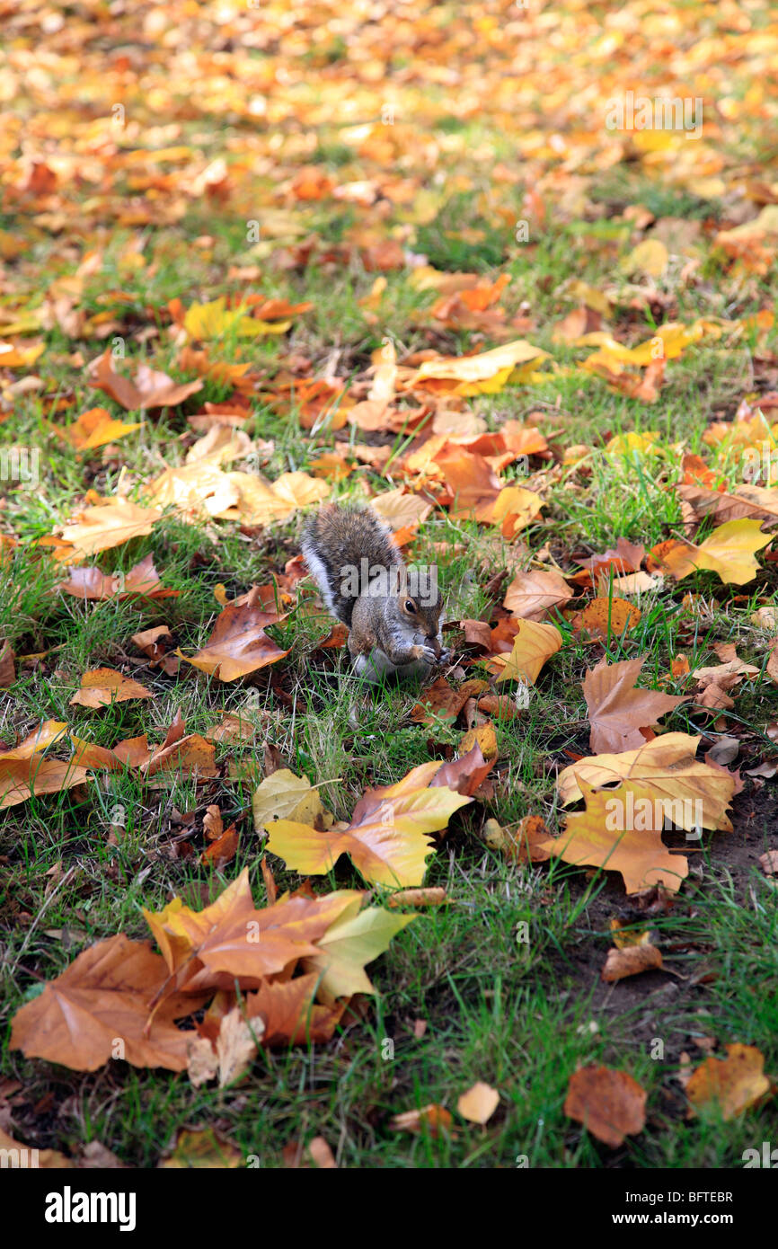 ONE OF THE MANY SQUIRRELS FORAGING FOR NUTS AMONG THE FALLEN LEAVES IN THE AUTUMN AT COLCHESTER CASTLE PARK. - Stock Image