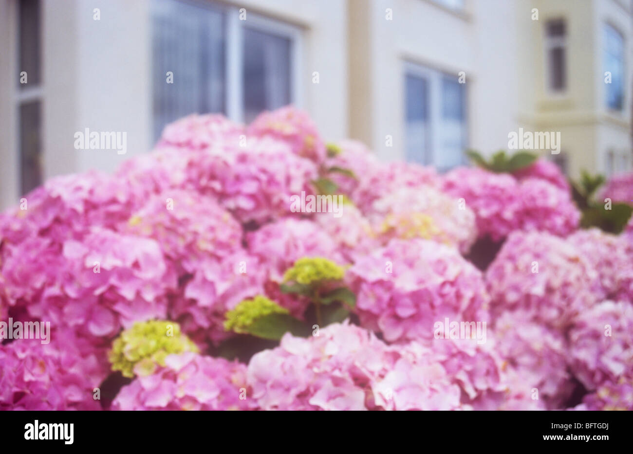 Impressionistic hydrangea bush with abundant large pink flowers with impressionistic hydrangea bush with abundant large pink flowers with cream painted houses or flats behind mightylinksfo
