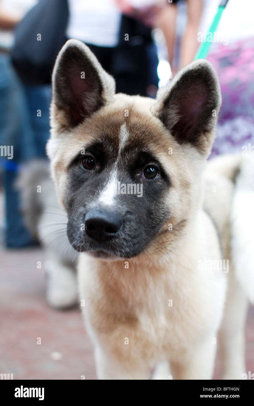 American Akita Puppy A Dog Breed From The Mountainous Northern Stock