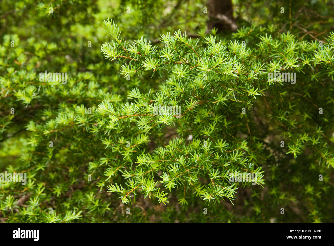 Closeup of a fir trees needles in the central Cascade Mountains of Washington State, USA. - Stock Image