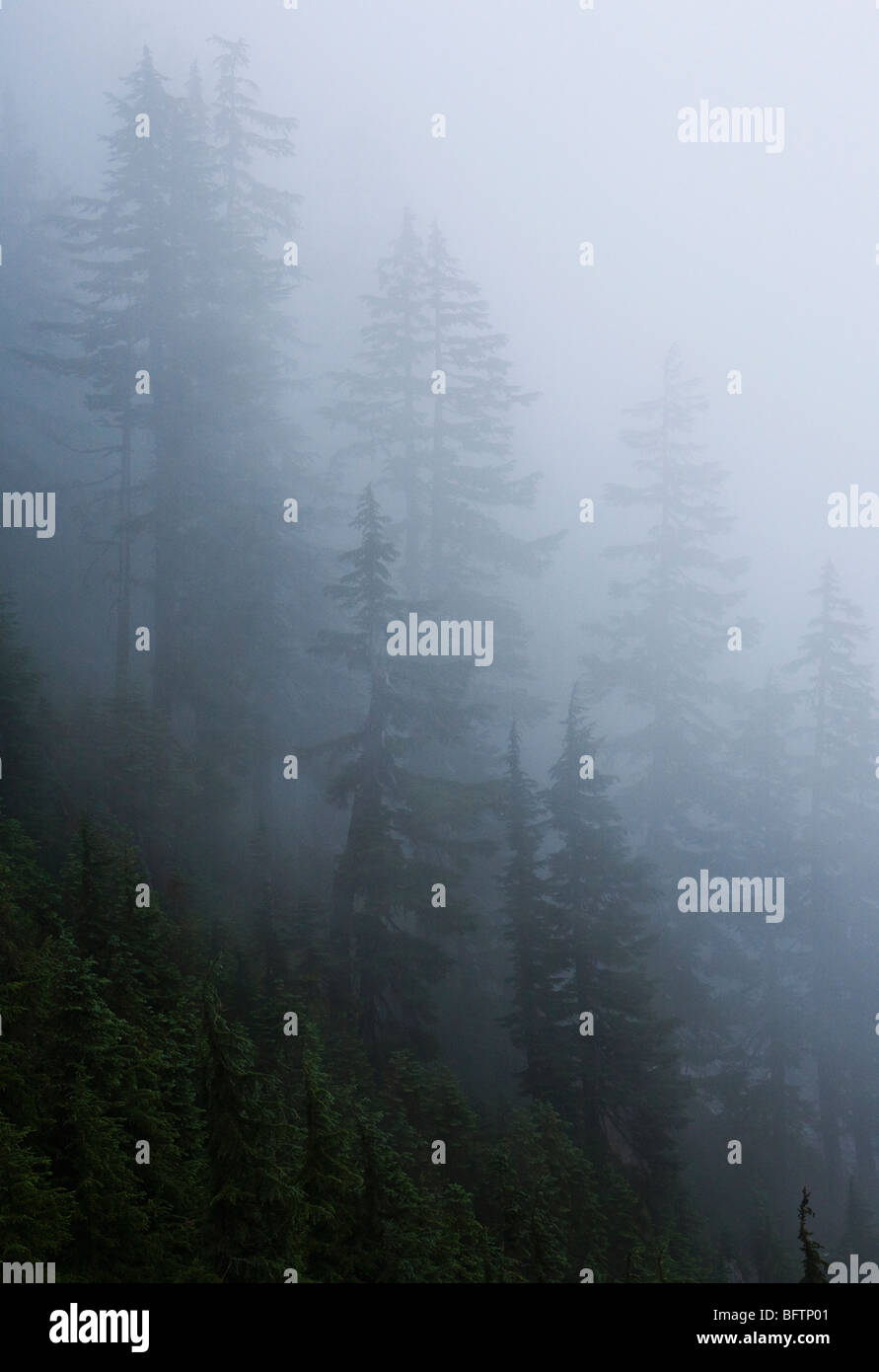 Trees in the fog near Snoqualmie Pass, Washington, USA. - Stock Image
