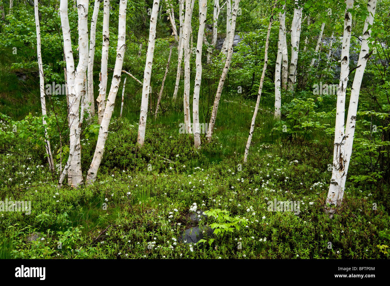 Grove of white birch trees and flowering Labrador tea in spring, Greater Sudbury, Ontario, Canada - Stock Image