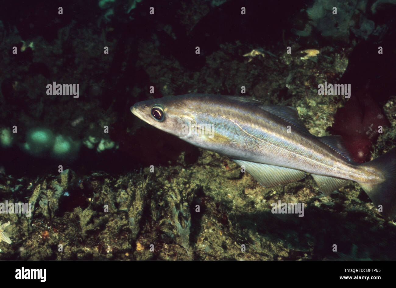 Pollack. Fish. Pollachius Pollachius. Fish of the cod family. Underwater marine life off the coast of Plymouth UK. - Stock Image