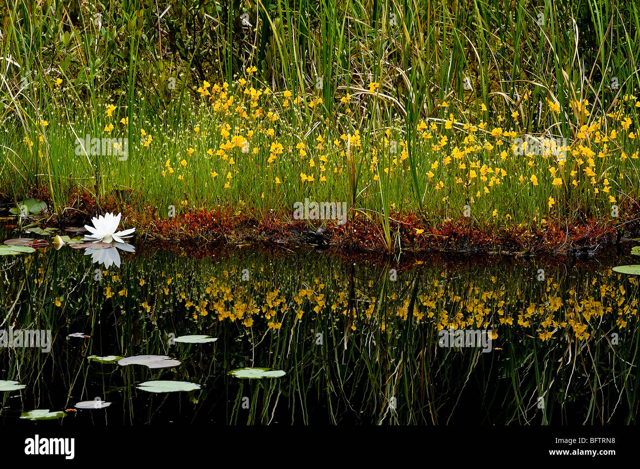 Boreal bog with flowering bladderwort and fragrant white water lilies, Greater Sudbury, Ontario, Canada - Stock Image