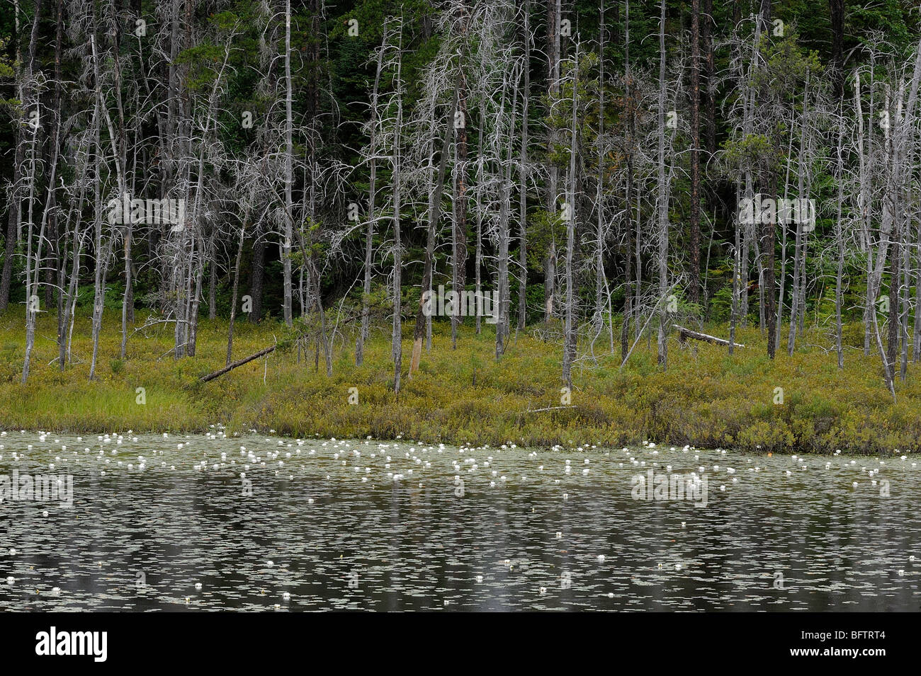 Boreal pond with dead snags and fragrant white water lilies, Greater Sudbury, Ontario, Canada - Stock Image