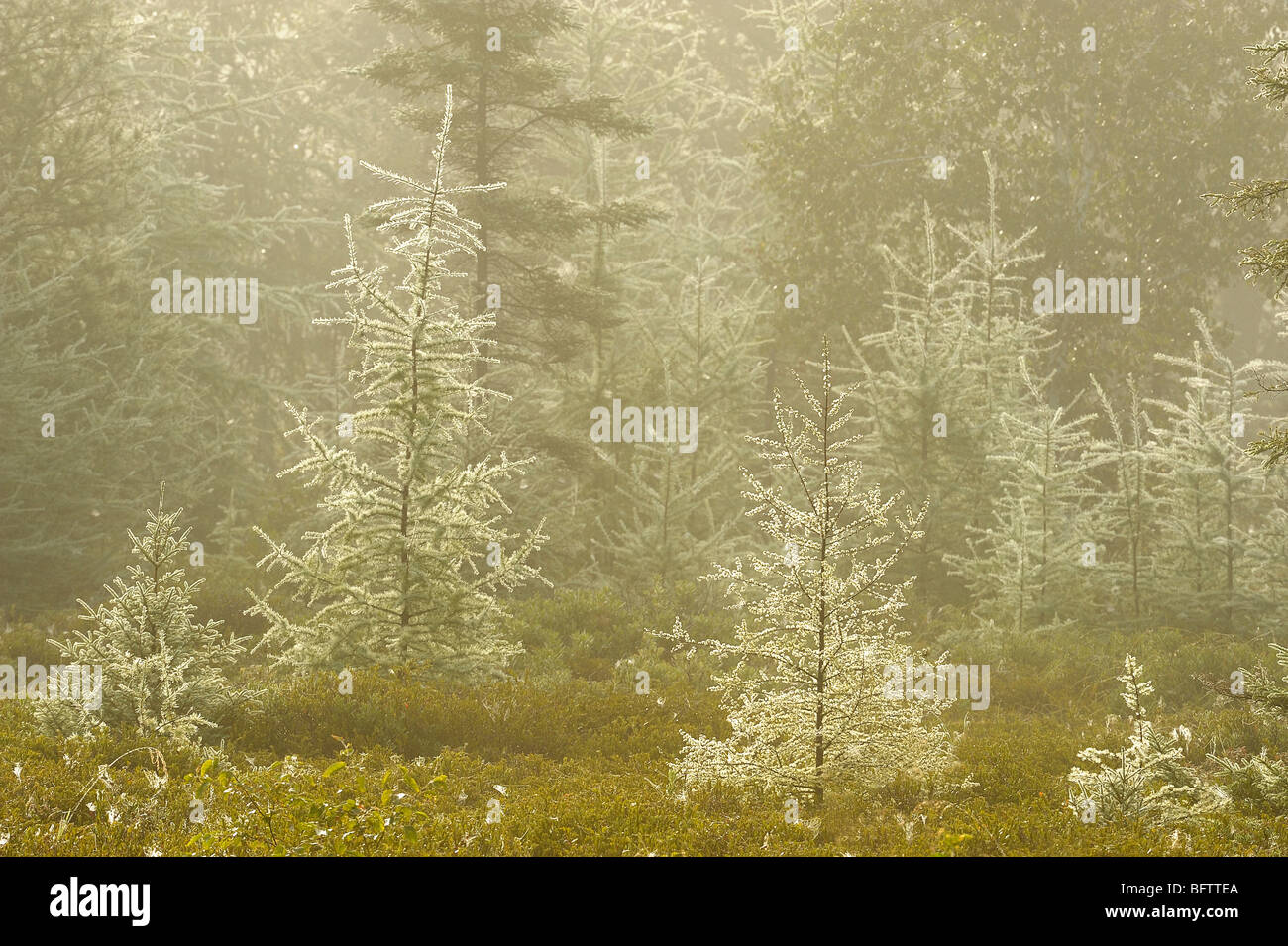 Larch and spruce in bog with light fog, Greater Sudbury, Ontario, Canada - Stock Image