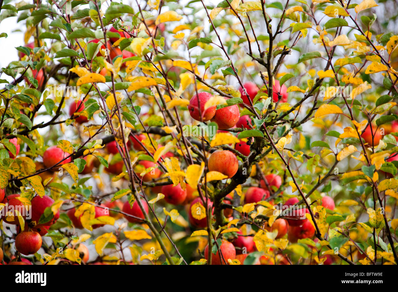 red apples in apple tree closeup autumn orchard english garden stock photo 26976922 alamy