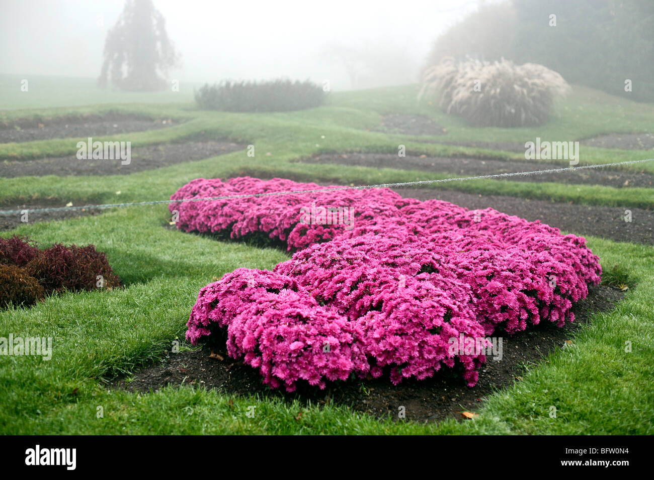 bed of magenta chrysanthemums brilliant against green grass in thick fog at Mohonk Mountain House gardens in upstate - Stock Image