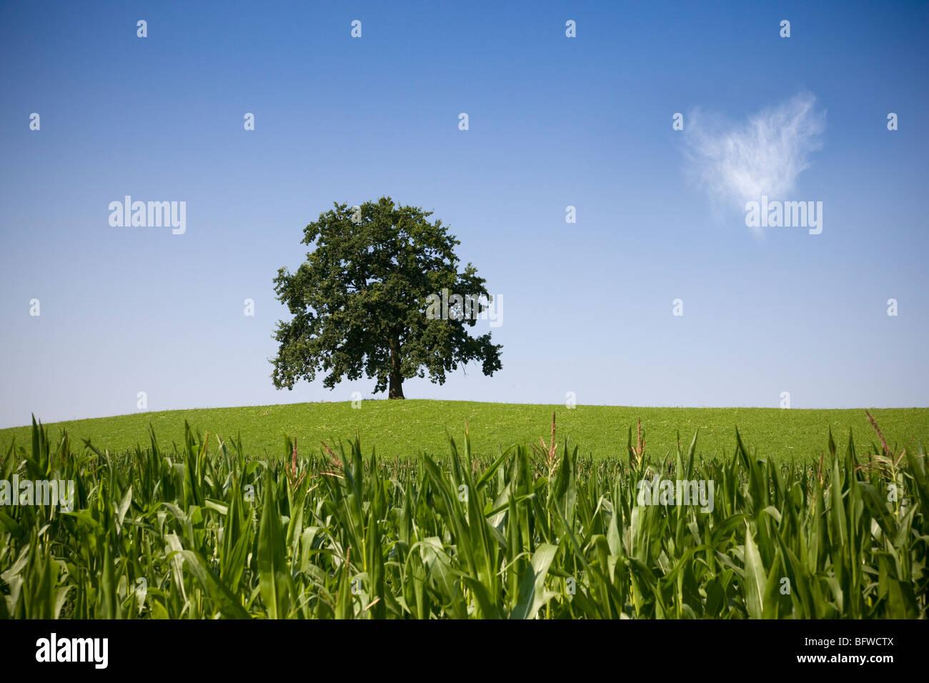 oak tree on hill in summer - Stock Image