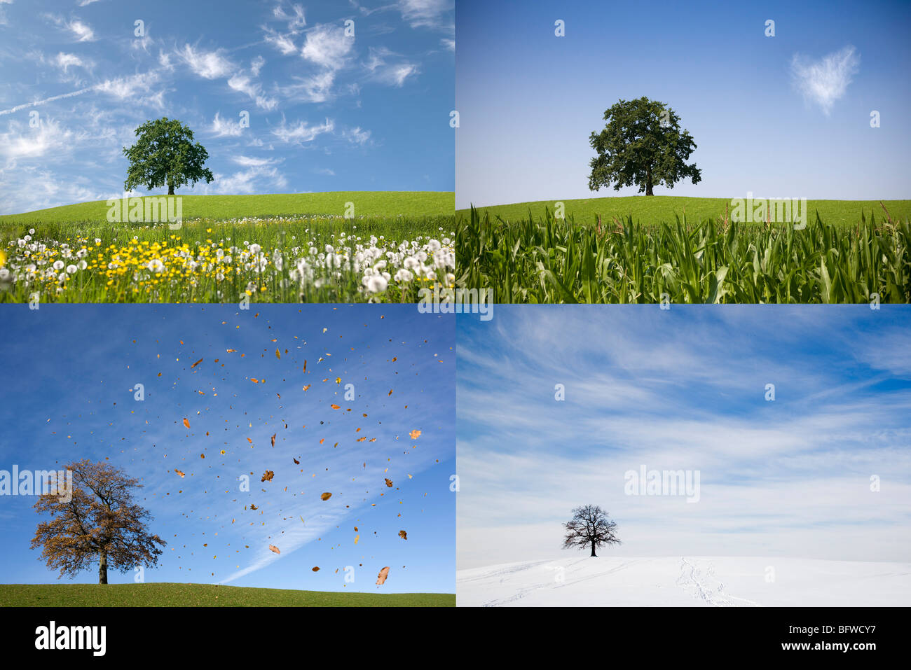 oak tree on hill in four seasons Stock Photo