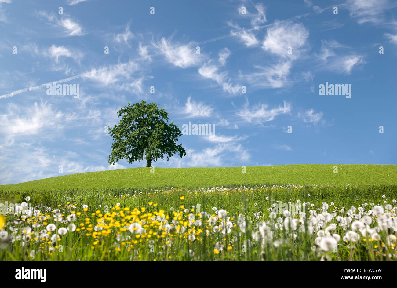 oak tree on hill in spring - Stock Image