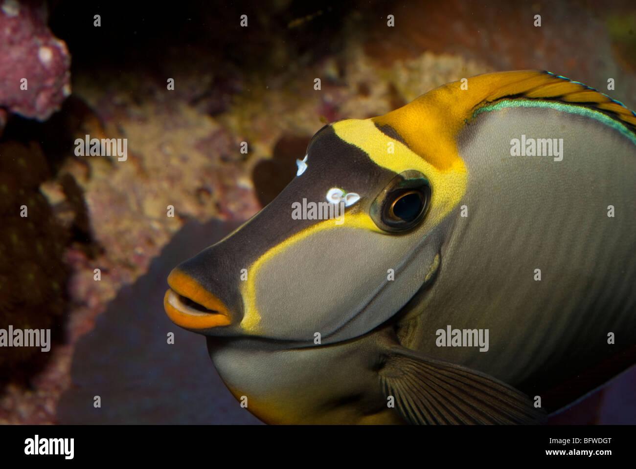 Naso Tang, Unicorn Fish Naso lituratus, Acanturidae,  Indo-pacific Ocean - Stock Image