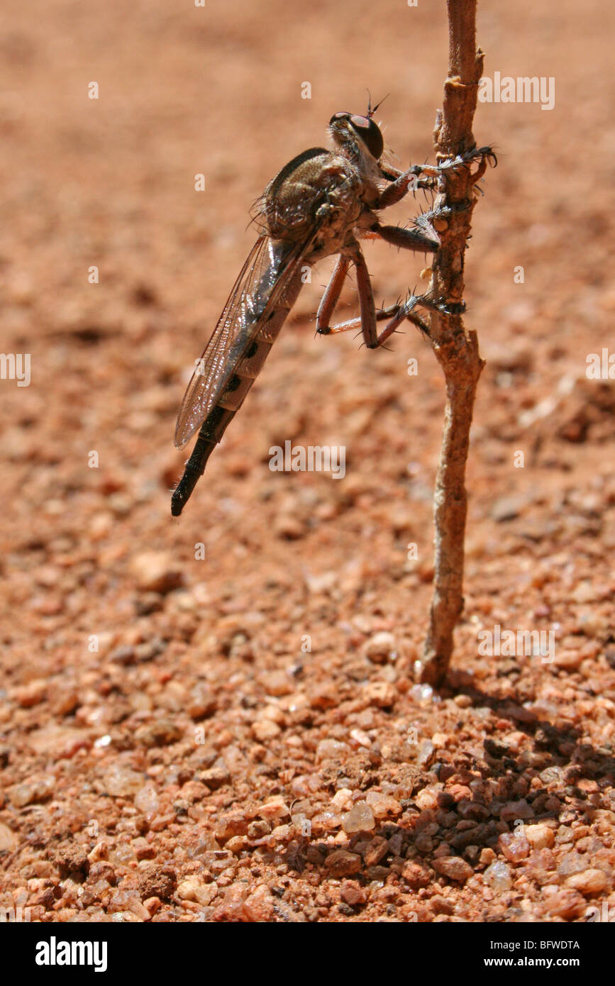 Robberfly Taken in Northern Tanzania - Stock Image