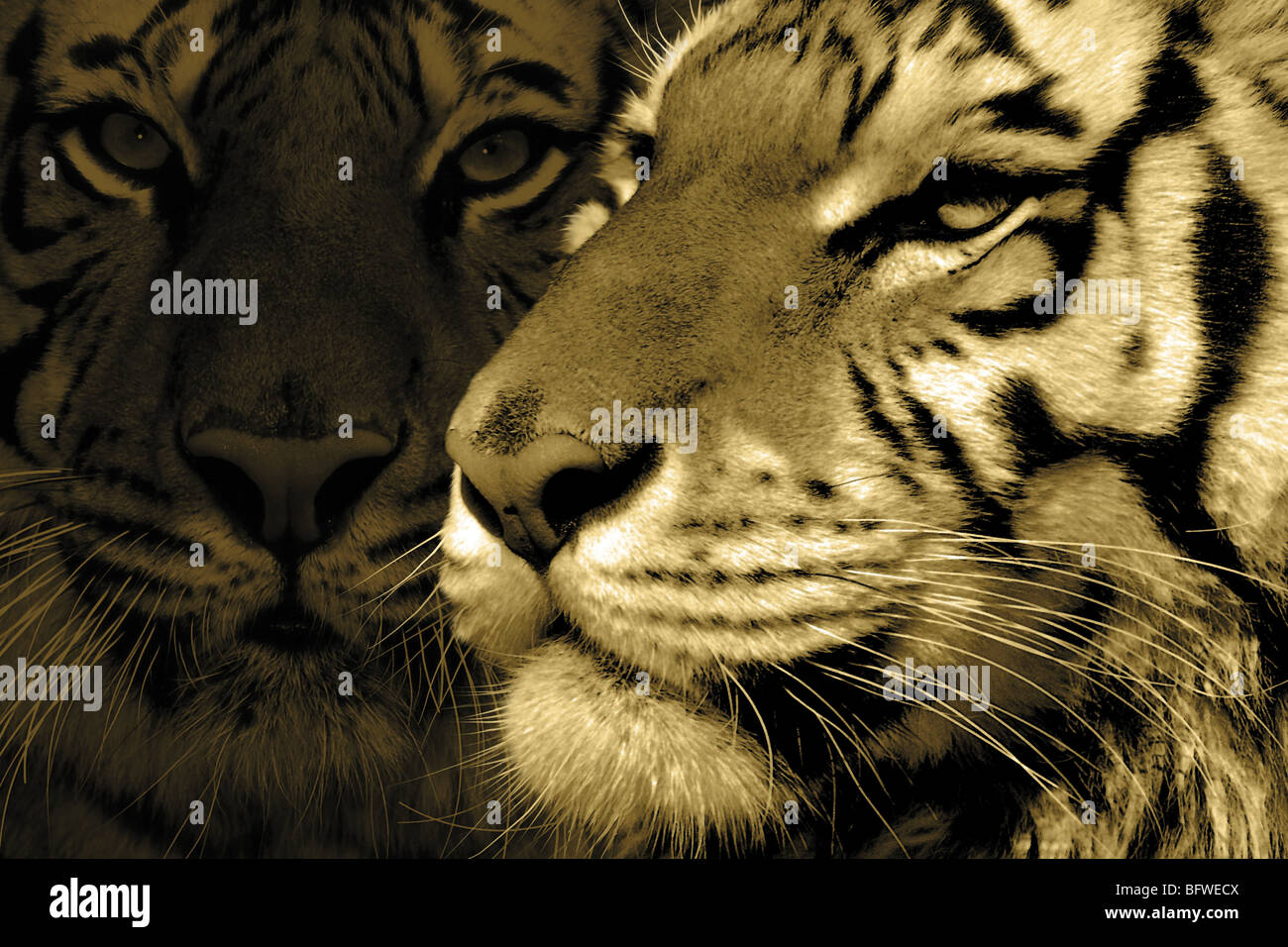 TIGER, TIGER - Stock Image