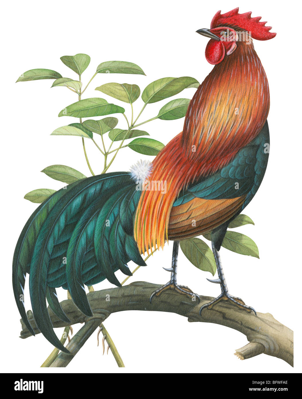 Red jungle fowl - Stock Image