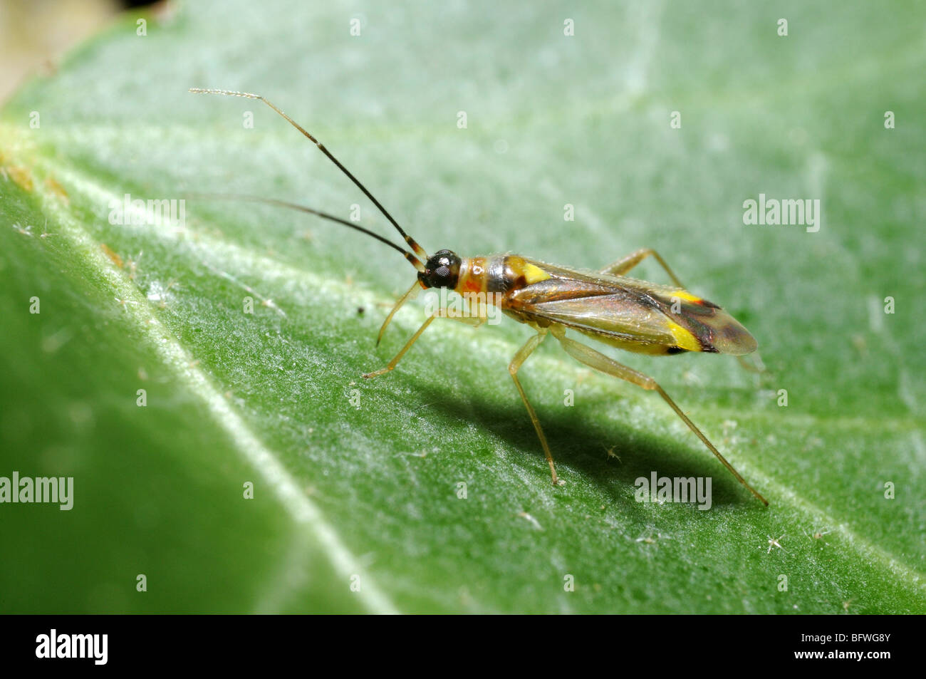 Small Hemipteran on leaf showing the extended mouthparts in close-up Stock Photo
