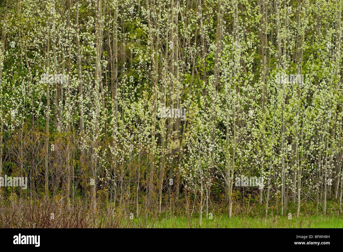 New foliage in poplar grove, Greater Sudbury, Ontario, Canada - Stock Image