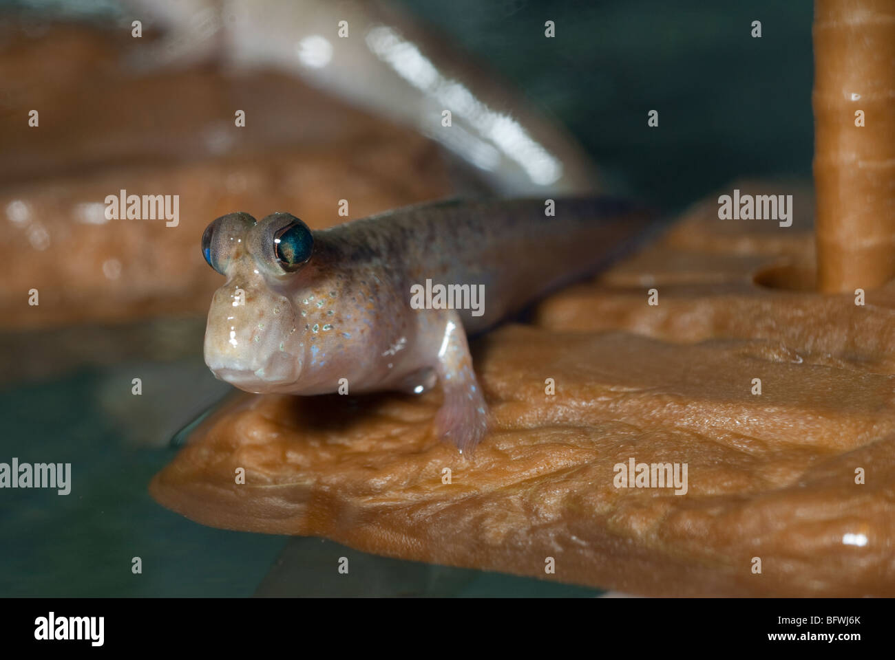 Mudskipper Periophthalmus sp., Periophthalmidae, South East Asian - Stock Image