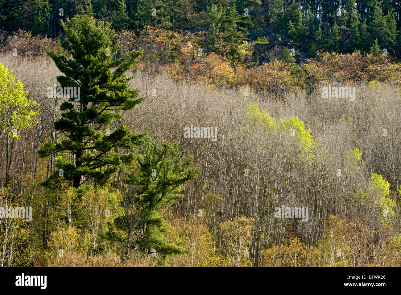 Aspens with emerging foliage and white pine on slopes overlooking Onaping River, Greater Sudbury, Ontario, Canada - Stock Image