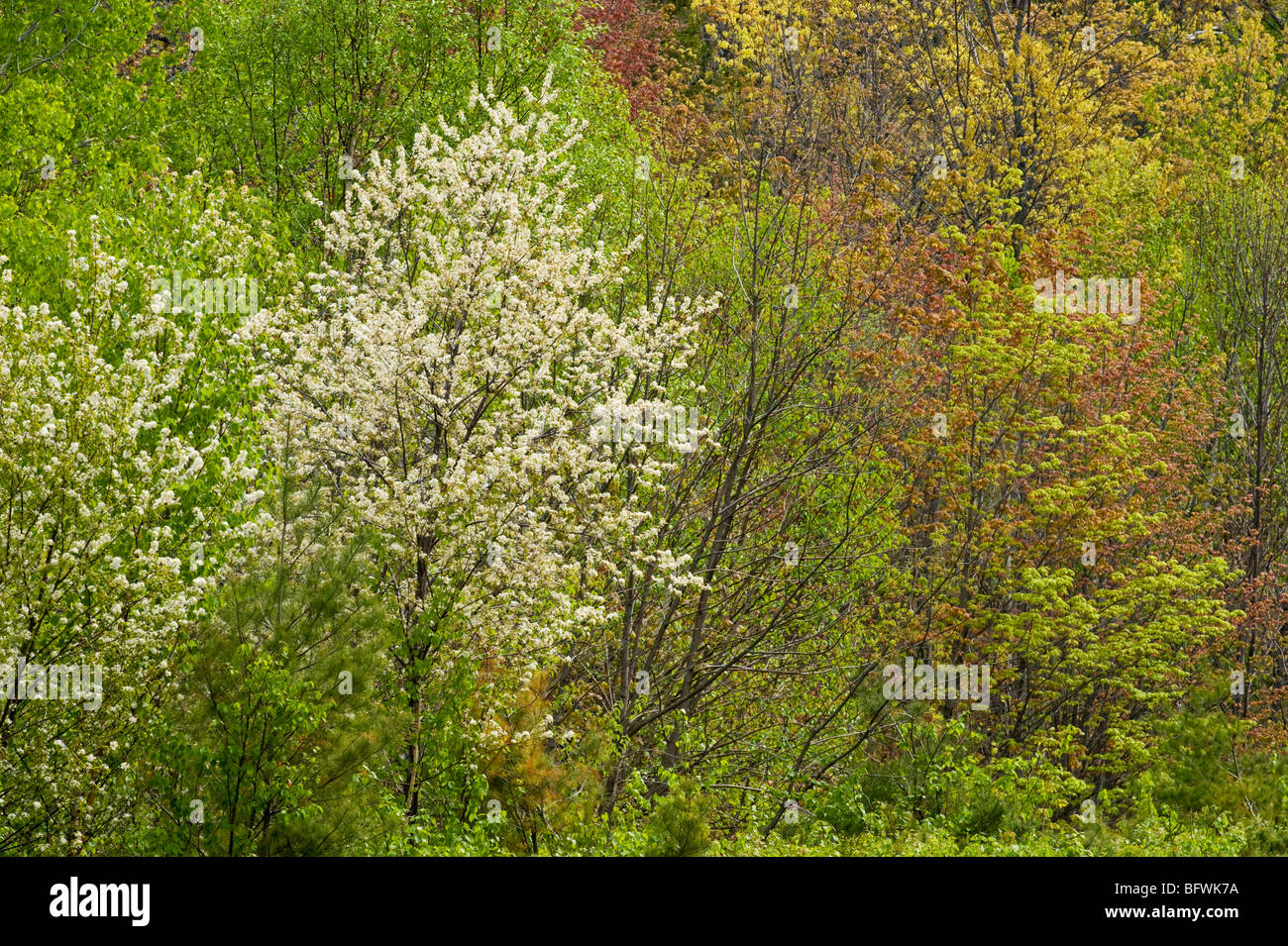 Flowering pin cherry in mixed woodlot with birch and red maple, Killarney, Ontario, Canada - Stock Image