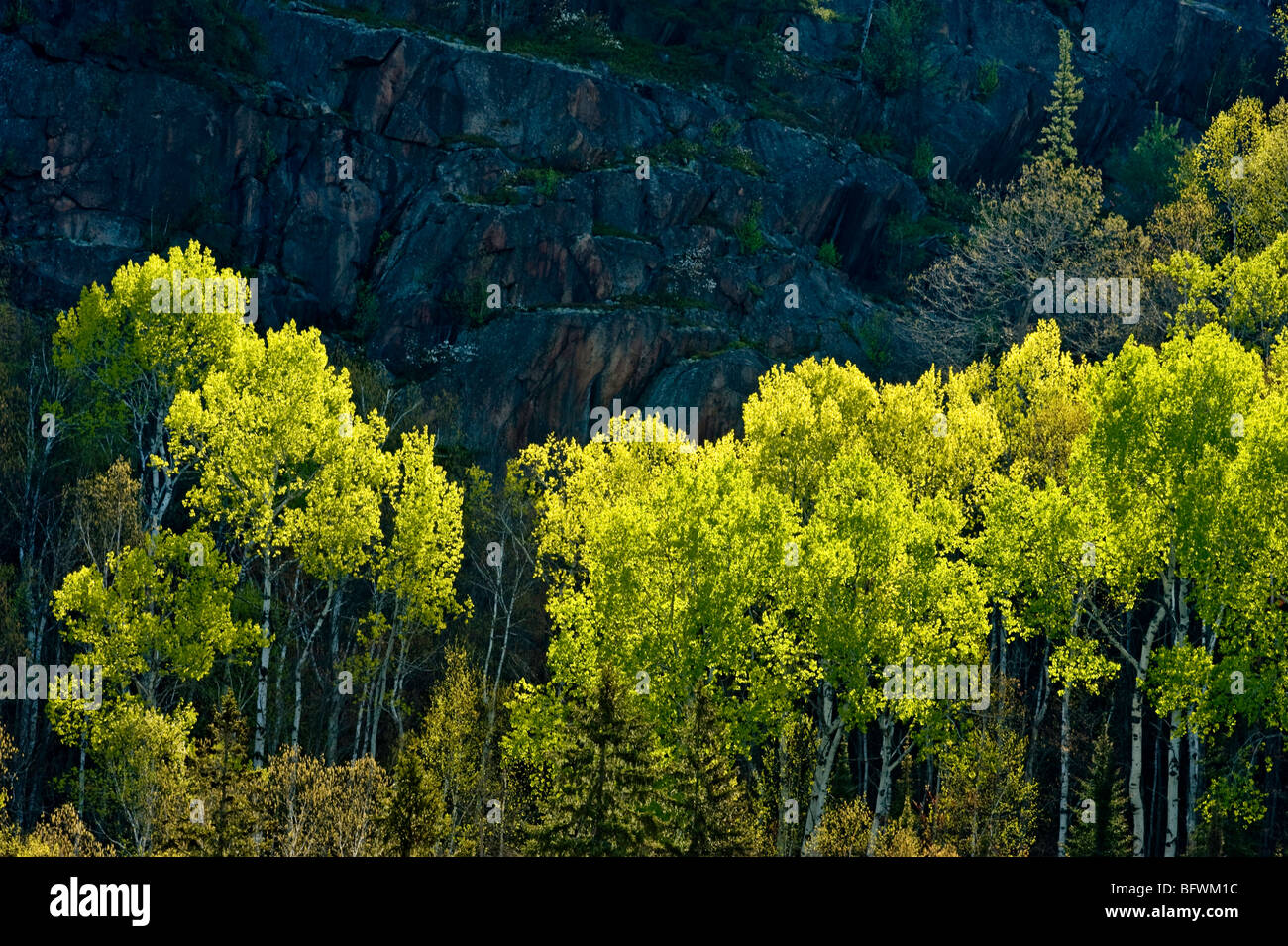 Aspens and birches with emerging foliage at base of cliff overlooking Onaping River, Greater Sudbury, Ontario, Canada - Stock Image