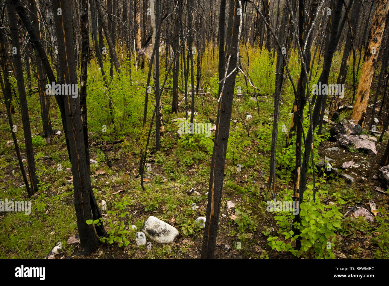 Forest fire regeneration. Aspens, shrubs and herbs growing among charred tree trunks, Greater Sudbury, Ontario, - Stock Image