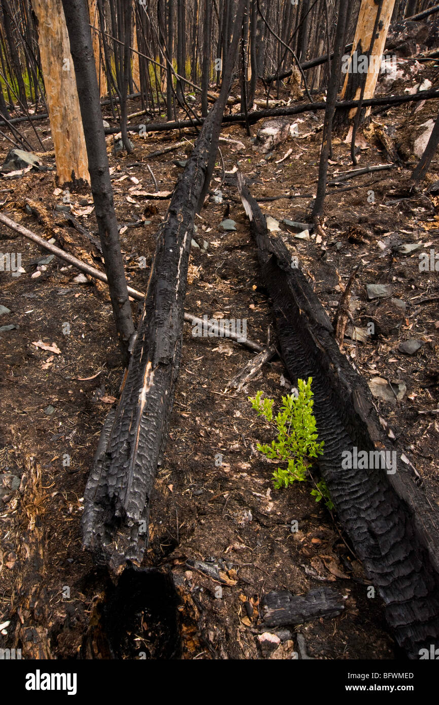 Forest fire regeneration. Shrubs and herbs growing among charred tree trunks, Greater Sudbury, Ontario, Canada - Stock Image