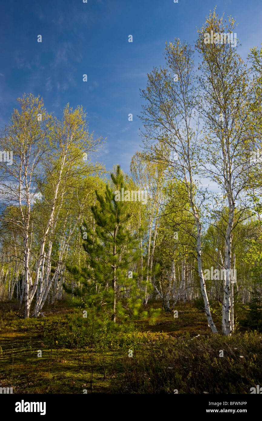 Birch trees with emerging foliage in morning light, Greater Sudbury, Ontario, Canada - Stock Image
