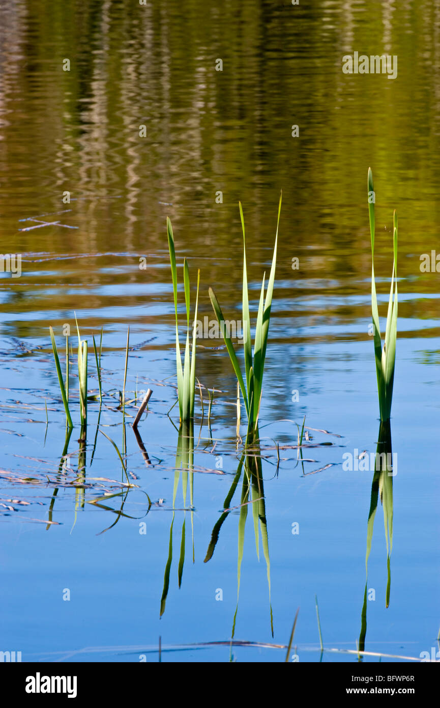 Spruce tree reflections in beaverpond water, with emerging cattails, Greater Sudbury, Ontario, Canada - Stock Image