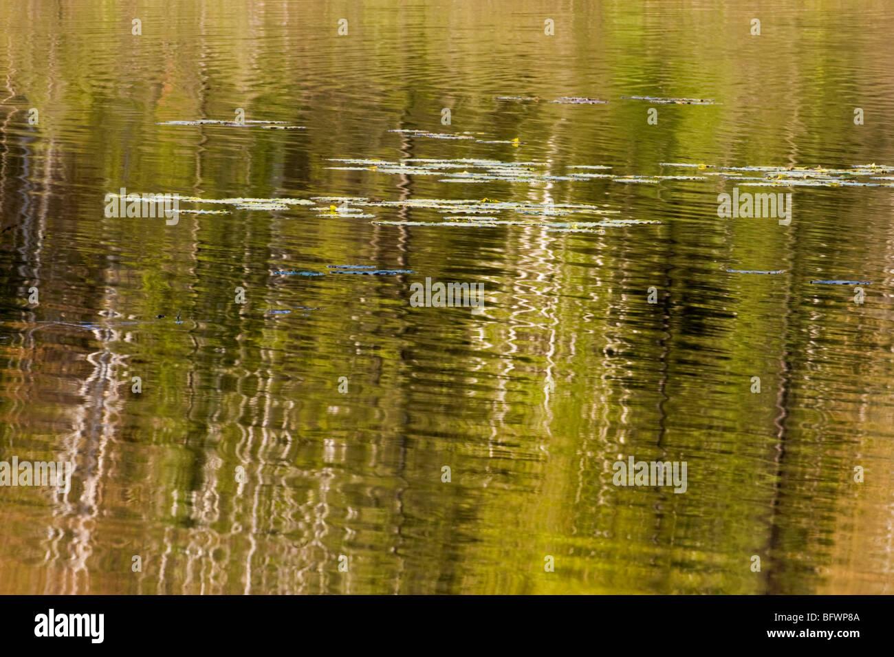 Birch tree reflections in beaverpond water, Greater Sudbury, Ontario, Canada Stock Photo