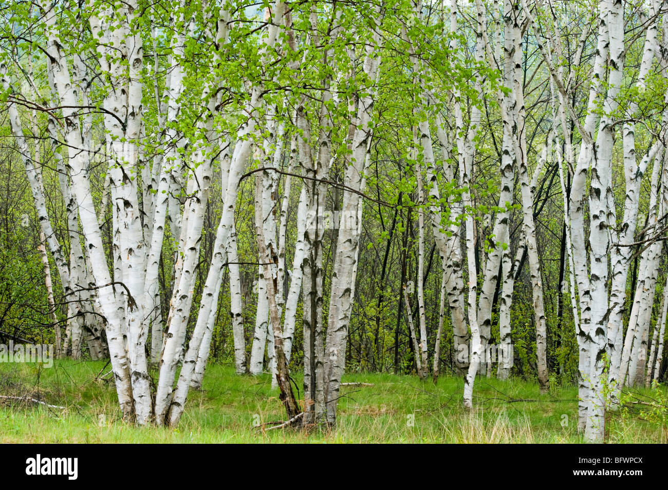 Birch trees with emerging foliage in spring, Greater Sudbury, Ontario, Canada - Stock Image