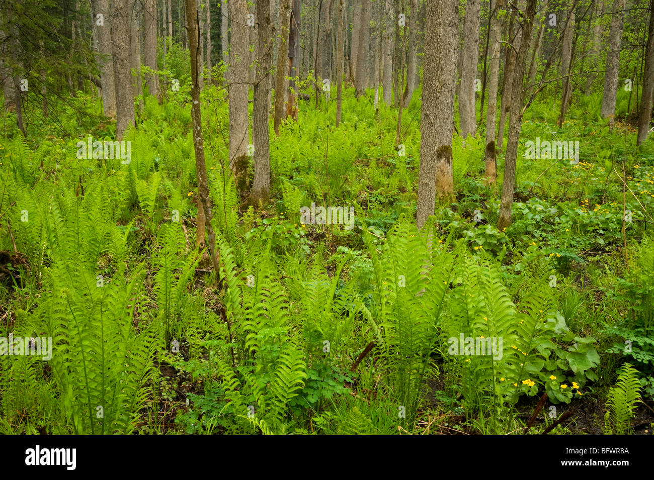 Moist woodland with marsh marigolds and ferns, Killarney, Ontario, Canada - Stock Image