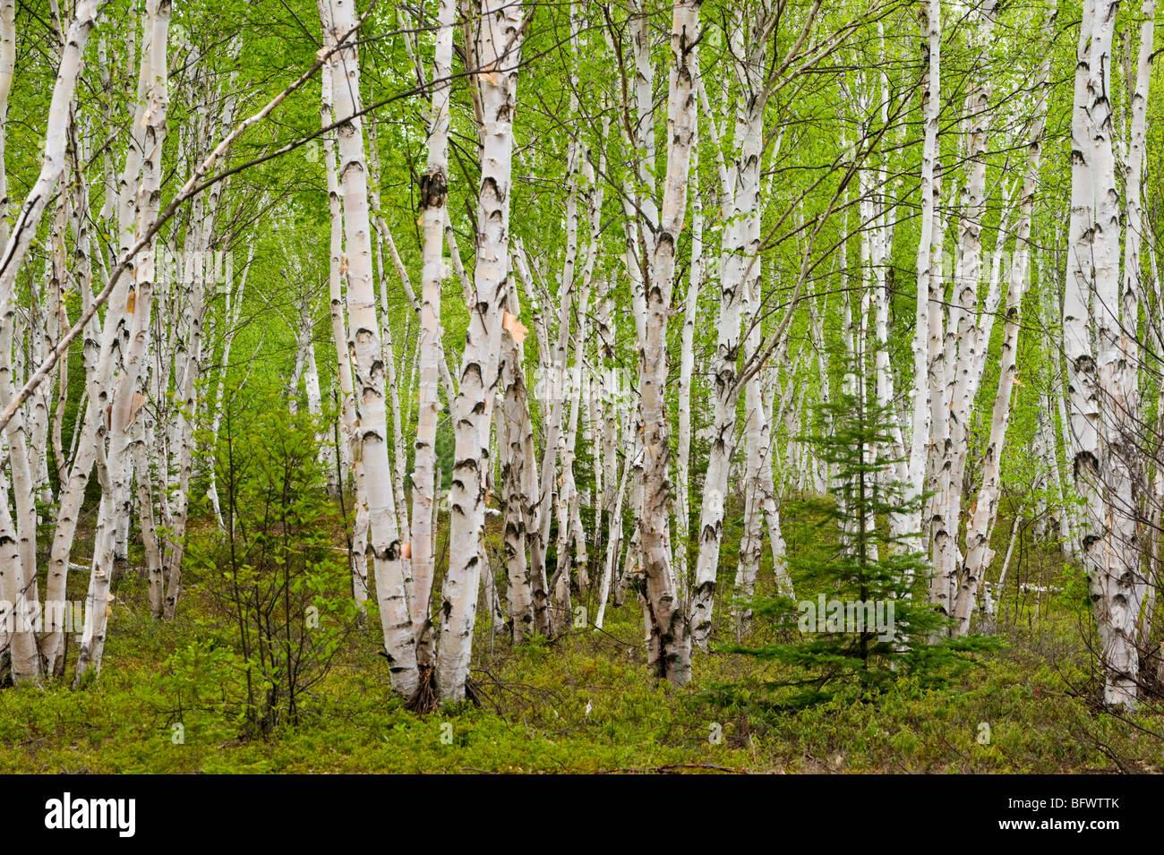 White birch (Betula papyrifera) grove with spring foliage, Greater Sudbury, Ontario, Canada - Stock Image