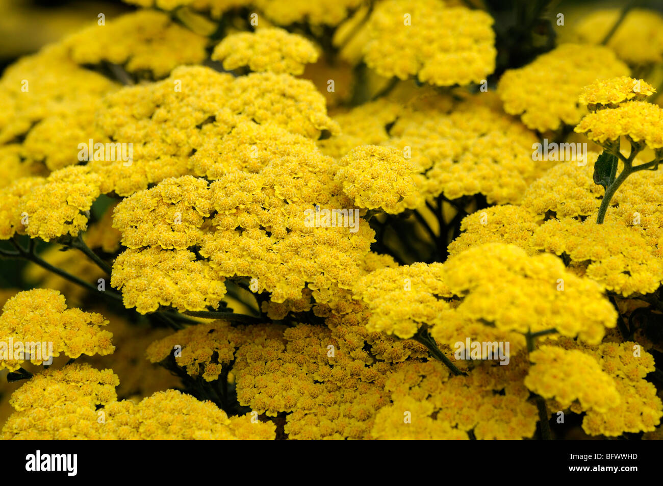 achillea filipendulina moonshine yellow yarrow flower bloom blossom herbaceous perennial summer flowering Stock Photo