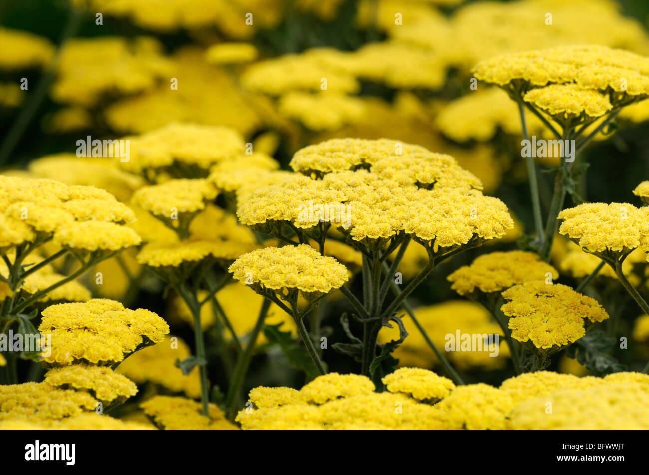 achillea filipendulina moonshine yellow fernleaf yarrow flower bloom blossom herbaceous perennial summer flowering - Stock Image