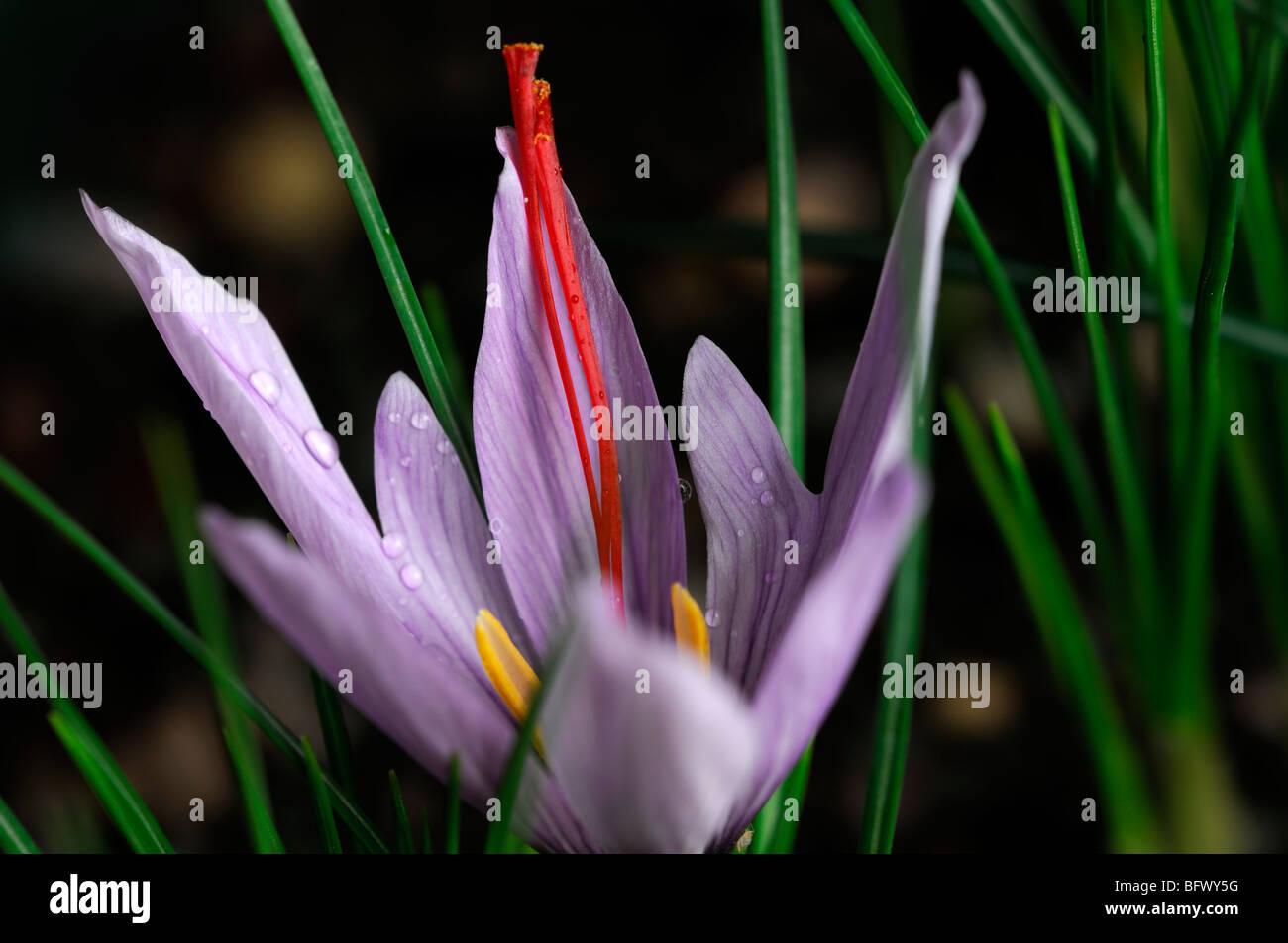 Crocus sativus Autumn Crocus Saffron flower single one open bloom blossom purple red stamen - Stock Image