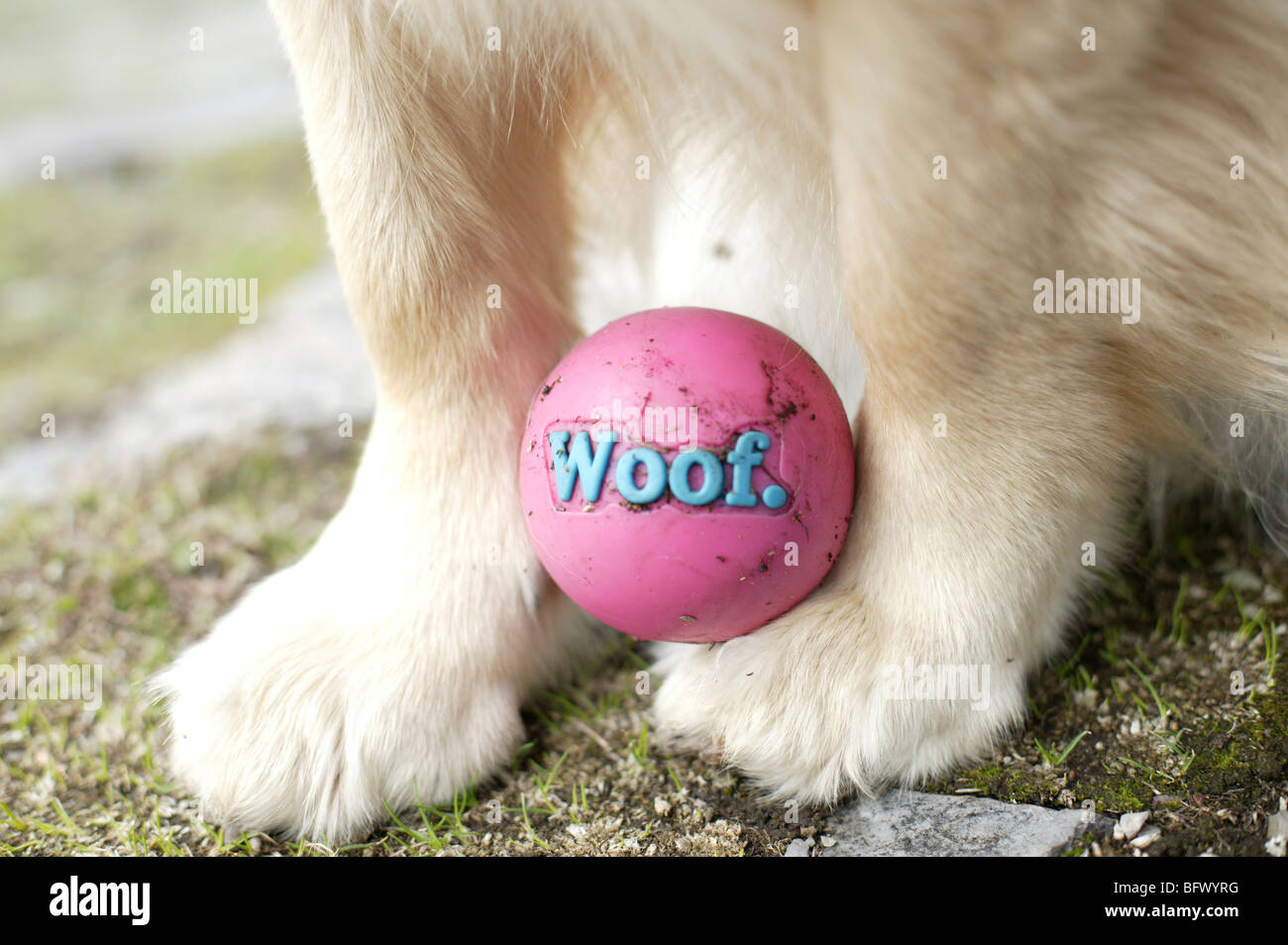 close-up of golden retriever's front paws with pink ball - Stock Image