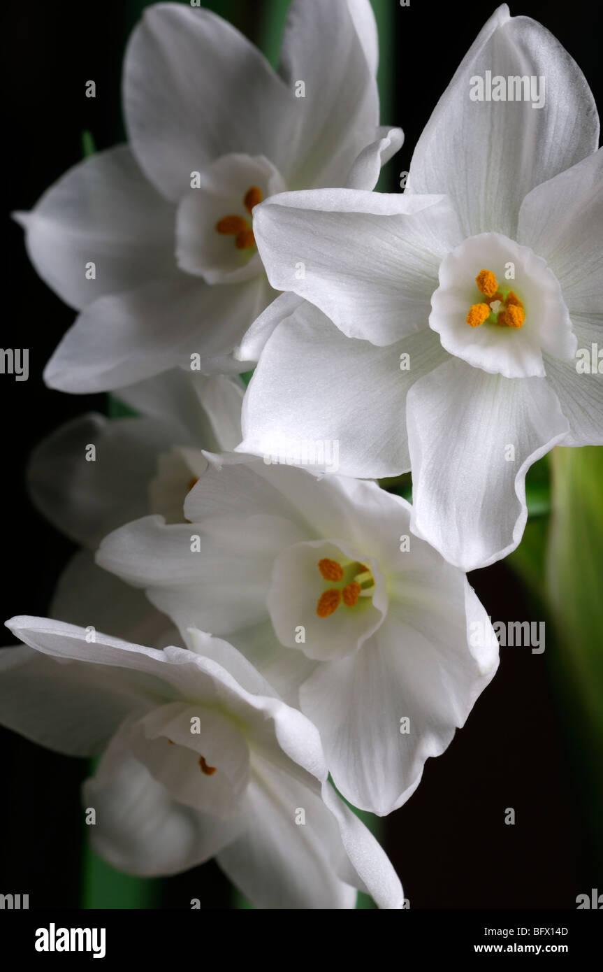 Narcissus Paperwhite Stock Photos Narcissus Paperwhite Stock