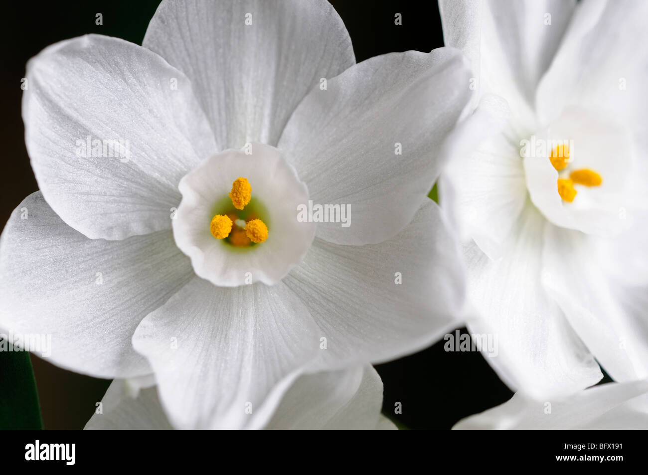 Narcissus ziva paperwhites plants white flowers flowering blooms narcissus ziva paperwhites plants white flowers flowering blooms bulbs spring scented fragrant daffodils paperwhite rm floral mightylinksfo